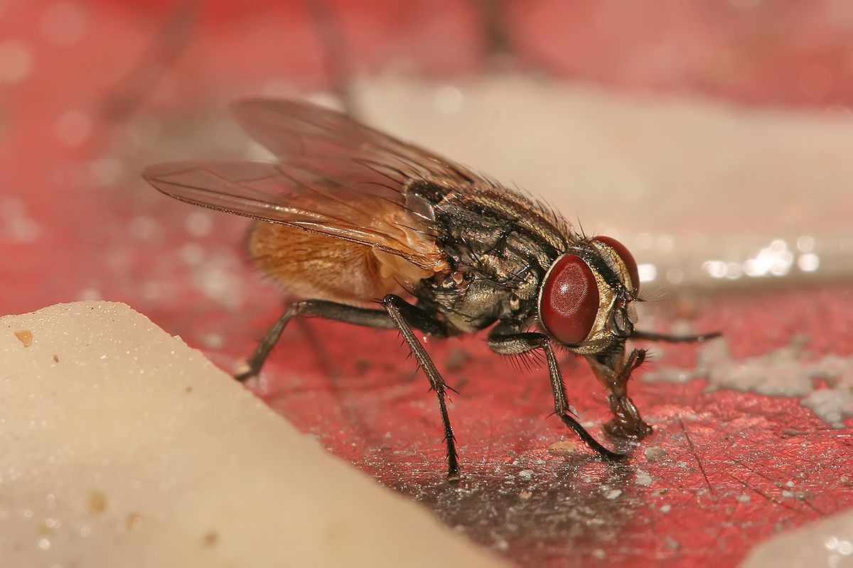 1200px-Musca_domestica_housefly